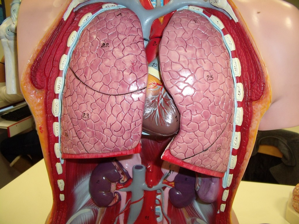 Ou se trouve les reins dans le corps humain carabiens le for Interieur du corps humain image